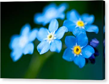 Forget Me Not  Canvas Print by Venura Herath