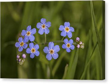 Forget-me-not Canvas Print by Viesturs Larmanis