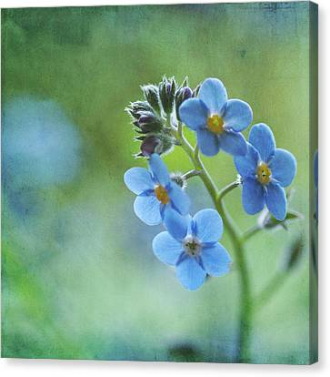 Forget-me-nots Flower Canvas Print by Jill Ferry