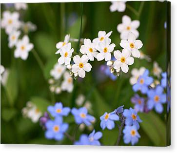 Forget Me Nots Canvas Print by Jouko Lehto