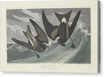 Seagull Canvas Print - Fork-tailed Petrel by Dreyer Wildlife Print Collections