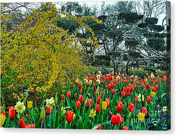 Canvas Print featuring the photograph Forsythia Tulips And Daffadils by Diana Mary Sharpton