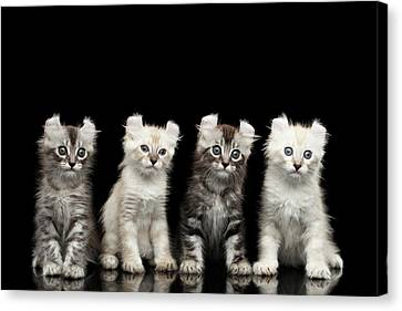 Four American Curl Kittens With Twisted Ears Isolated Black Background Canvas Print by Sergey Taran