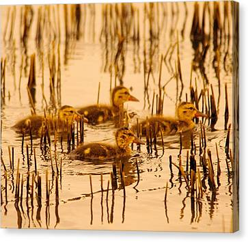 Four Baby Duckies Canvas Print by Jeff Swan
