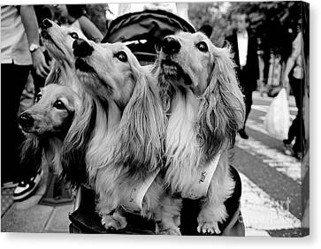 Four Dogs In A Stroller Canvas Print by Dean Harte