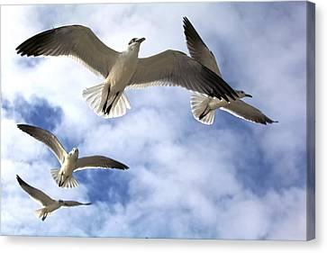 Four Gulls Canvas Print