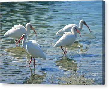Four Ibises Canvas Print by Carol Groenen