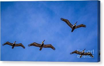 Four Pelicans Canvas Print