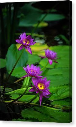Four Waterlilies Canvas Print
