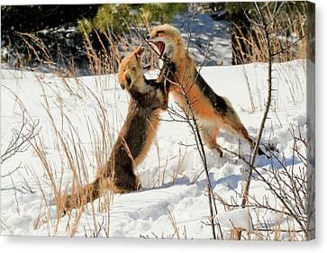 Fox Fight Canvas Print by Geraldine Scull