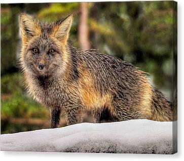Fox Hunting In The Snow Canvas Print by Paul W Sharpe Aka Wizard of Wonders