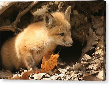Canvas Print featuring the photograph Fox Kit At Entrance To Den by Doris Potter