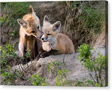 Adorable Canvas Print - Fox Kits Canada by Mark Duffy