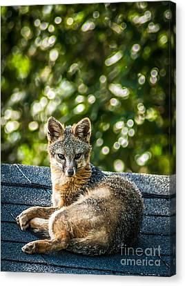 Fox On Roof Canvas Print