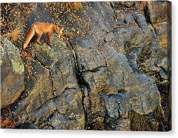 Fox On The Rocks Canvas Print