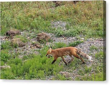Fox On The Run Canvas Print by David Wilkinson