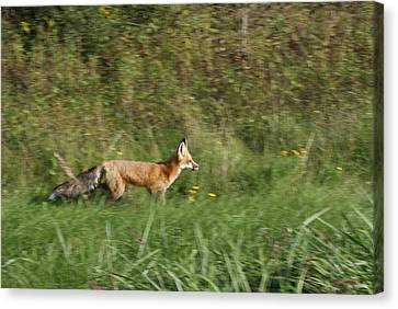 Fox On The Run Canvas Print by Ron Read