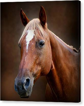 Fox - Quarter Horse Canvas Print