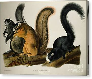 Fox Squirrel Canvas Print - Fox Squirrel by John James Audubon