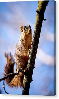Fox Squirrel's Last Look Canvas Print