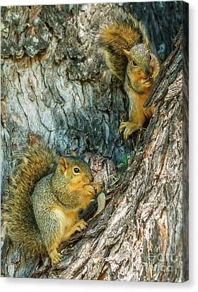 Fox Squirrel Canvas Print - Fox Squirrels by Robert Bales