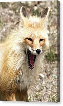 Fox Yawn Canvas Print