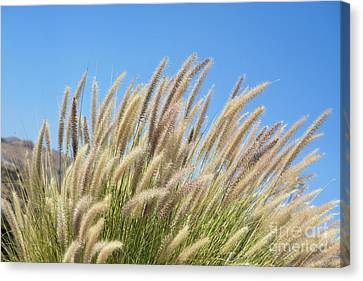 Foxtails On A Hill Canvas Print