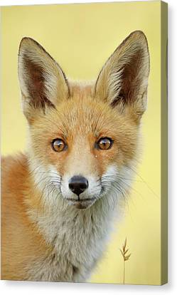 Foxy Faces Series- Young And Eager Fox Canvas Print