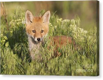 Foxy Canvas Print by John Blumenkamp