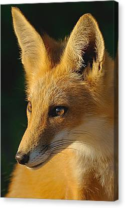 Foxy Lady Canvas Print by William Jobes
