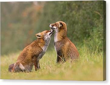 Foxy Love- Kiss Canvas Print by Roeselien Raimond
