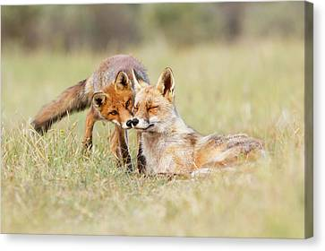 Sorrel Canvas Print - Foxy Love - Mother Fox And Fox Kit by Roeselien Raimond