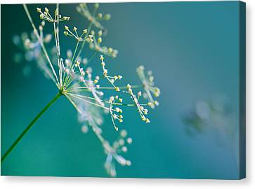 Fragile Dill Umbels Canvas Print by Nailia Schwarz