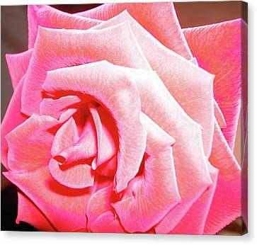 Canvas Print featuring the photograph Fragrant Rose by Marie Hicks