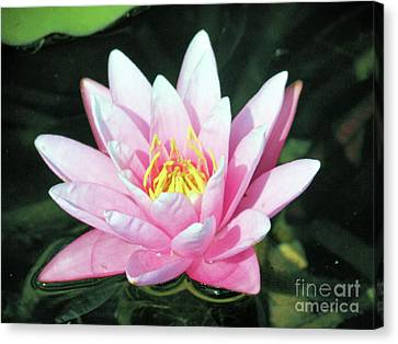 Frail Beauty - A Water Lily Canvas Print