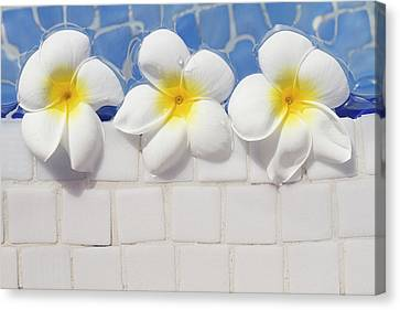 Frangipani Flowers Canvas Print by Laura Leyshon