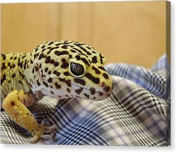 Freckles The Leopard Spotted Gecko Canvas Print by Chad and Stacey Hall