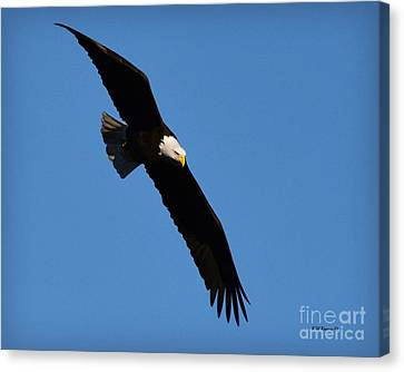 Free Flying Bald Eagle Canvas Print by Kathy M Krause