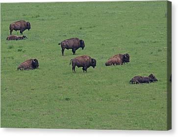 Free Range Buffalo Canvas Print by Tina B Hamilton