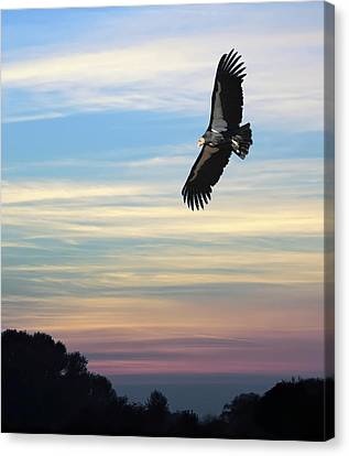 Condor Canvas Print - Free To Fly Again - California Condor by Daniel Hagerman