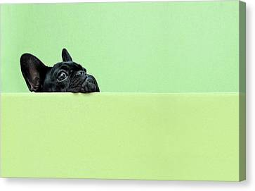 Bulldogs Canvas Print - French Bulldog Puppy by Retales Botijero