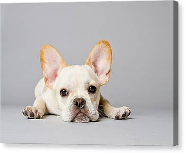Bulldogs Canvas Print - French Bulldog by Square Dog Photography