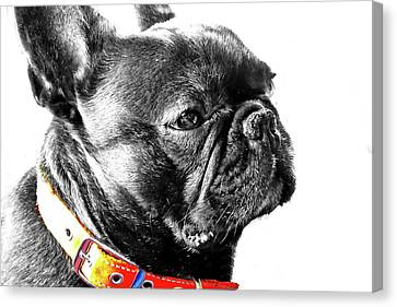 French Bully Canvas Print