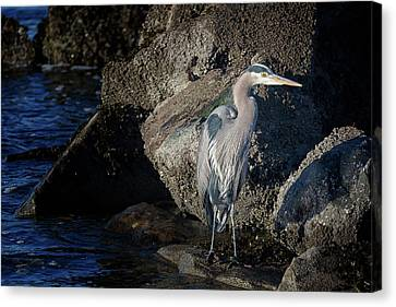 Canvas Print featuring the photograph French Creek Heron by Randy Hall