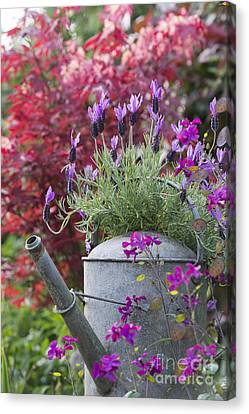 French Lavender Canvas Print by Tim Gainey