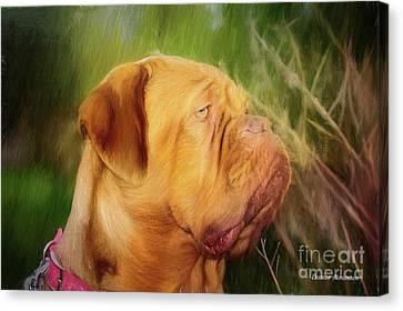French Mastiff  Canvas Print