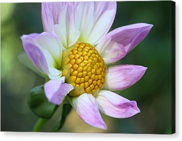 Fresh As A Dahlia Canvas Print
