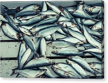 Canvas Print featuring the photograph Fresh Caught Herring Fish by Edward Fielding