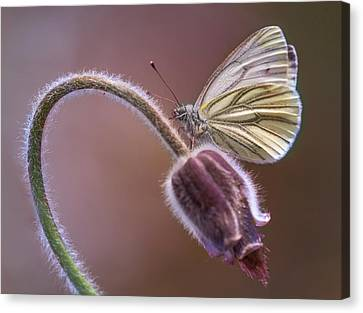 Fresh Pasque Flower And White Butterfly Canvas Print by Jaroslaw Blaminsky