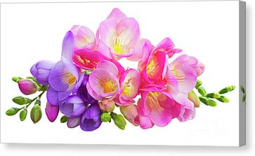 Fresh Pink And Violet Freesia Flowers Canvas Print